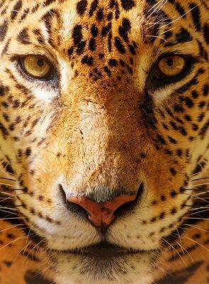 Poster Close-up von einem wunderschönen Leoparden erschossen