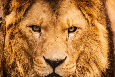 Poster Closeup Porträt eines afrikanischen Löwen
