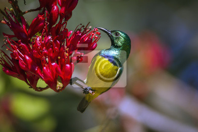 Collared Sunbird im Krüger Nationalpark, Südafrika