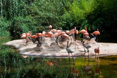 Colony von Flamingos.