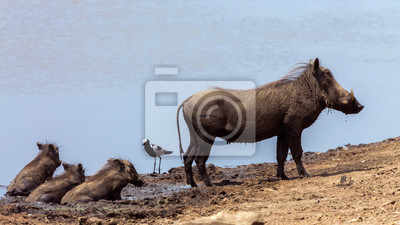 Common warthog mother and three cub mud bathing in Kruger National park, South Africa ; Specie Phacochoerus africanus family of Suidae