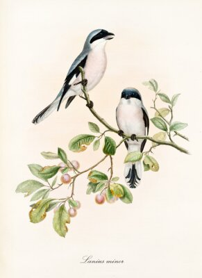 Poster Couple of white and bluish birds on a single isolated branch rich of leaves and berries. Old colorful illustration of Lesser Grey Shrike (Lanius minor). By John Gould publ. In London 1862 - 1873