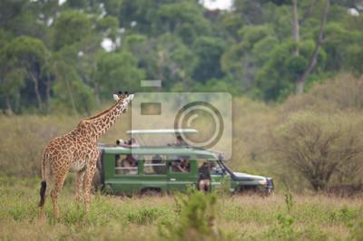 curious giraffe looking at the photographers on safari