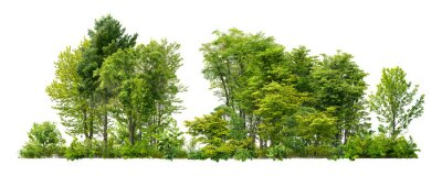 Poster Cutout tree line. Forest and green foliage in summer. Row of trees and shrubs isolated on white background. Forest scape.