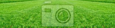 Poster Das Feld der jungen Weizen. Hintergrund grünes Gras.