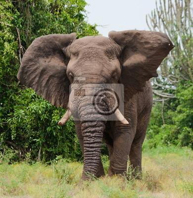 Der Elefant in der Savanne. Uganda.