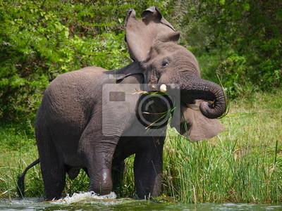 Der Elefant ist im Wasser. Uganda.