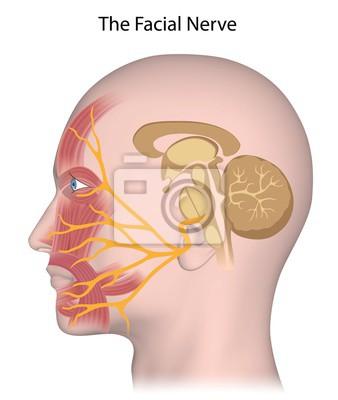Der n. facialis wandposter • poster Neuralgie, medicals ...