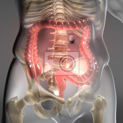 Dickdarm - verdauungsorgan im menschlichen körper wandposter ...