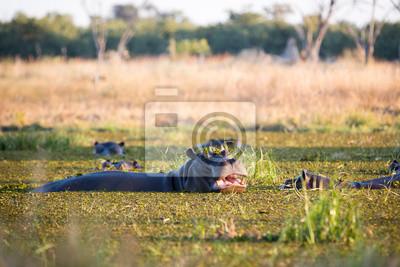 Die Flusspferde genießen den Kwai River, Botswana