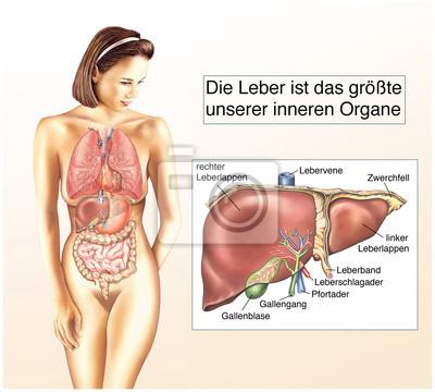 Die leber wandposter • poster galle, Leber, Anatomie | myloview.de