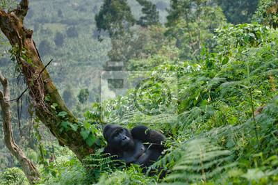Dominierende männlichen Berggorillas im Gras. Uganda. Bwindi Impenetrable Forest Nationalpark. Eine ausgezeichnete Illustration.