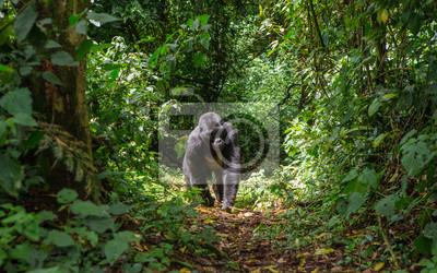 Dominierende männlichen Berggorillas im Regenwald. Uganda. Bwindi Impenetrable Forest Nationalpark. Eine ausgezeichnete Illustration.