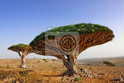Drachenblut Baum