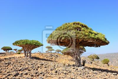 Drachenblutbaum