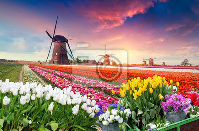 Poster Dramatic spring scene on the tulip farm. Colorful sunset in Netherlands, Europe.