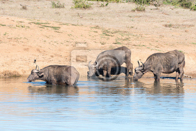 Drei afrikanische Büffel trinken