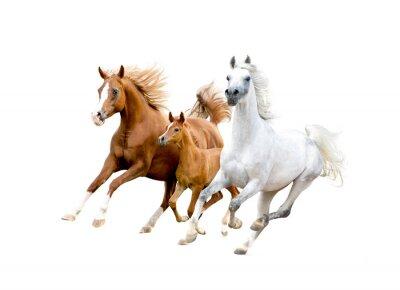 Poster Drei arabische Pferde isoliert auf weiß