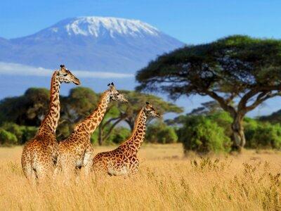 Poster Drei Giraffe auf Kilimanjaro mount Hintergrund