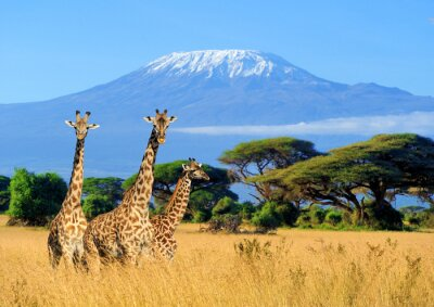 Poster Drei Giraffen im Nationalpark von Kenia