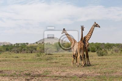 Drei Giraffen in der Serengeti