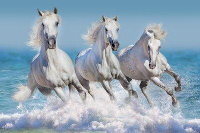 Poster Drei weiße Pferd laufen Galopp in Wellen im Ozean