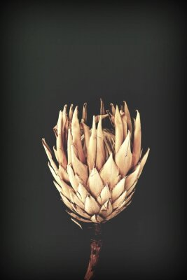 Poster dried exotic flowers Protea on black background closeup vintage toned. poster