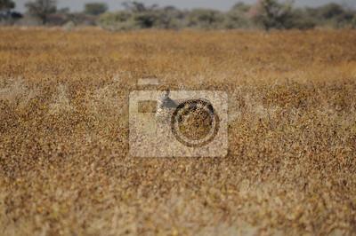 Ein Gepard in der Etosha-Nationalpark