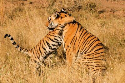 Poster Ein liebevoller Moment zwischen einem Königstiger und ihr Junges