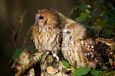Ein Paar von Waldkauz in einem Holz