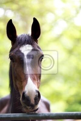Ein Schuss von der Kopf eines Pferdes Kastanien