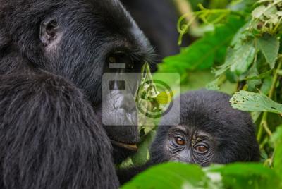 Ein weiblicher Berggorilla mit einem Baby. Uganda. Bwindi Impenetrable Forest Nationalpark. Eine ausgezeichnete Illustration.