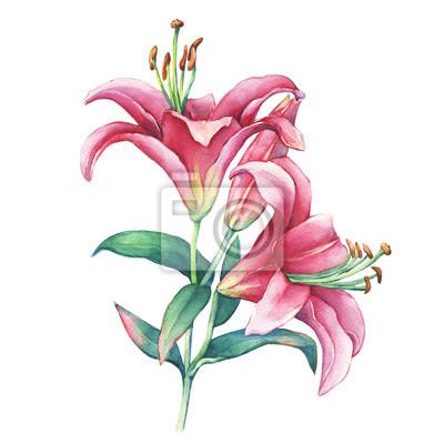 Ein zweig nahaufnahme einer rosa lilien blume. aquarell hand ...