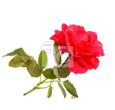 Eine blume einer roten rose mit einem stamm und blätter auf einem ...