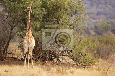 Eine Giraffe Essen Blätter von einem Baum