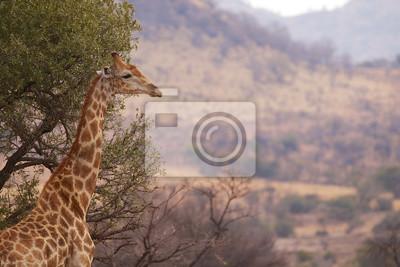 Eine Giraffe Profil