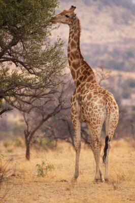 Poster Eine große Giraffe Essen Blätter von einem Baum