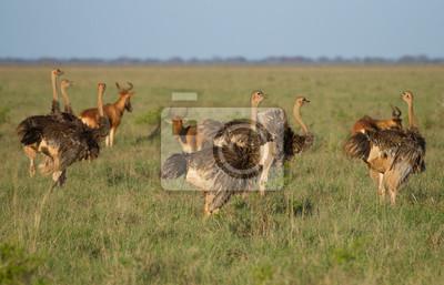 Eine Herde von afrikanischen Sträußen auf grüner Savanne