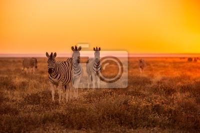 Poster Eine Herde von Zebra Beweidung bei Sonnenaufgang in Etosha, Namibia