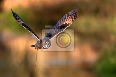 Eine lange Sumpfeule fliegen