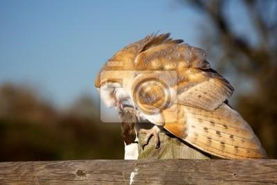 Eine Schleiereule isst eine Maus sitzt auf einem Zaun