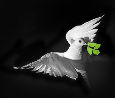 Poster Eine weiße Taube