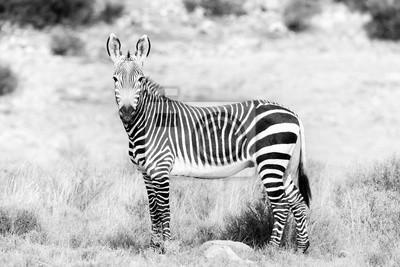 Einfarbiger Gebirgszebra im Bergzebra-Nationalpark
