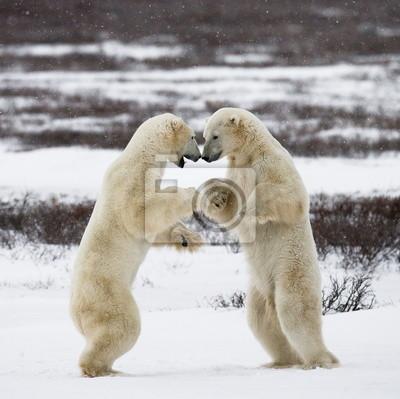 Eisbären im Polar Kanada