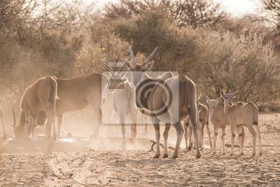 Eland Familie am Wasserloch