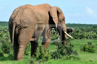 Elefant, Addo Elephant National Park, Südafrika