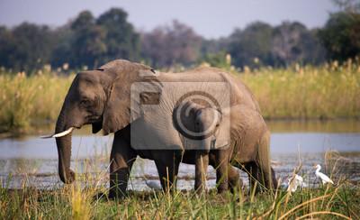Elefant mit Baby in der Nähe der Zambezi River. Sambia. Unteren Zambezi Nationalpark. Zambezi River. Eine ausgezeichnete Illustration.