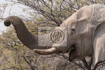 Elefant Trunck, der Akazie isst