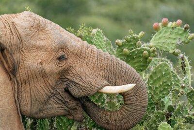 Poster Elefanten essen stachelige Birne