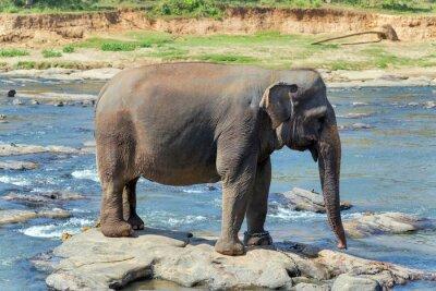 Poster Elefantenbad im Fluss Sri Lanka